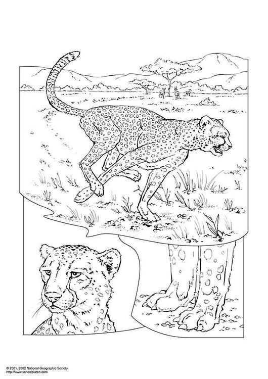 Kleurplaat Cheetah Afb 3051 Dieren Kleurplaten Kleurboek Kleurplaten