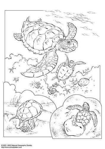 Kleurplaat Zeeschildpad Afb 3083 Dieren Kleurplaten Kleurboek Schildpad Tekening