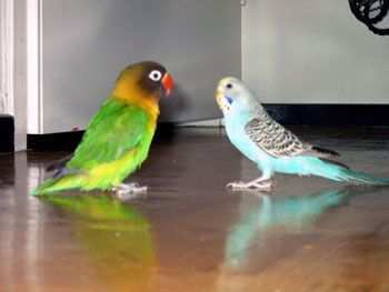 Vogeltjes Parkietjes Google Zoeken Dwergpapegaai Vogeltjes Vogels