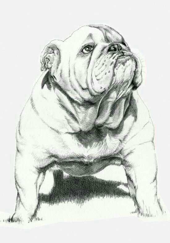 Pin Op Engelse Bulldog