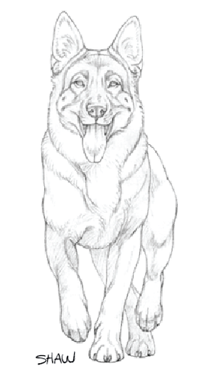 The Hindquarter Of The German Shepherd Dog The German Shepherd Dog German Shepherd Art Dog Sketch Dog Drawing