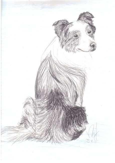 Border Collie Hond Tekeningen Dieren Tekenen Hond Illustratie