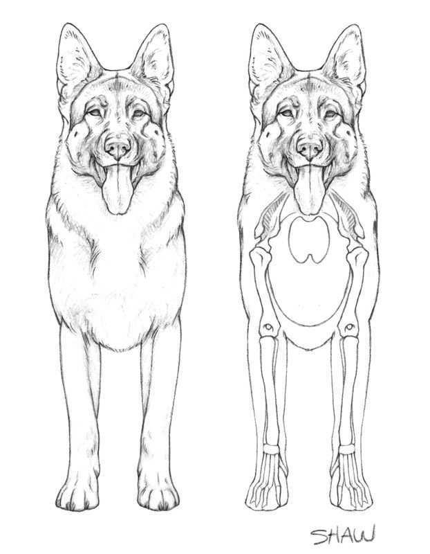 Anatomy The German Shepherd Dog Drawings Animal Art Easy Drawings