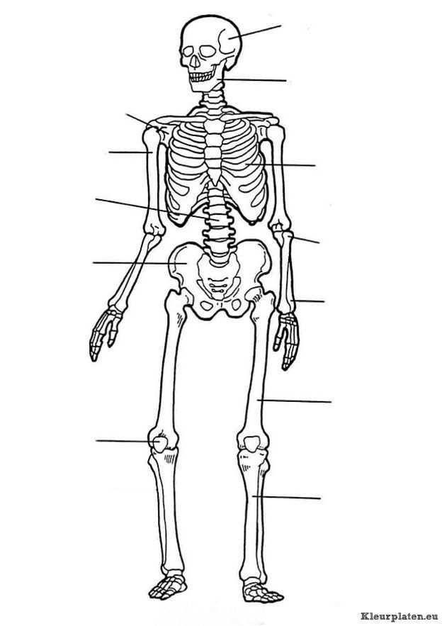 Menselijk Lichaam Kleurplaat 781870 Kleurplaat Menselijk Lichaam Menselijk Skelet Het Menselijk Lichaam