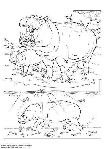 Kleurplaat Nijlpaard Afb 3070 Nijlpaard Kleurplaten Gratis Kleurplaten