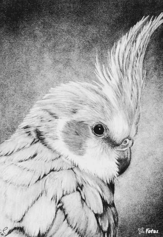 Parkiet Vogels Tekenen Dieren Tekenen Dieren Kleurplaten