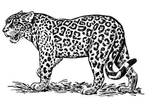 Kleurplaat Jaguar Afb 16636 Jaguar Gratis Kleurplaten Kleurplaten