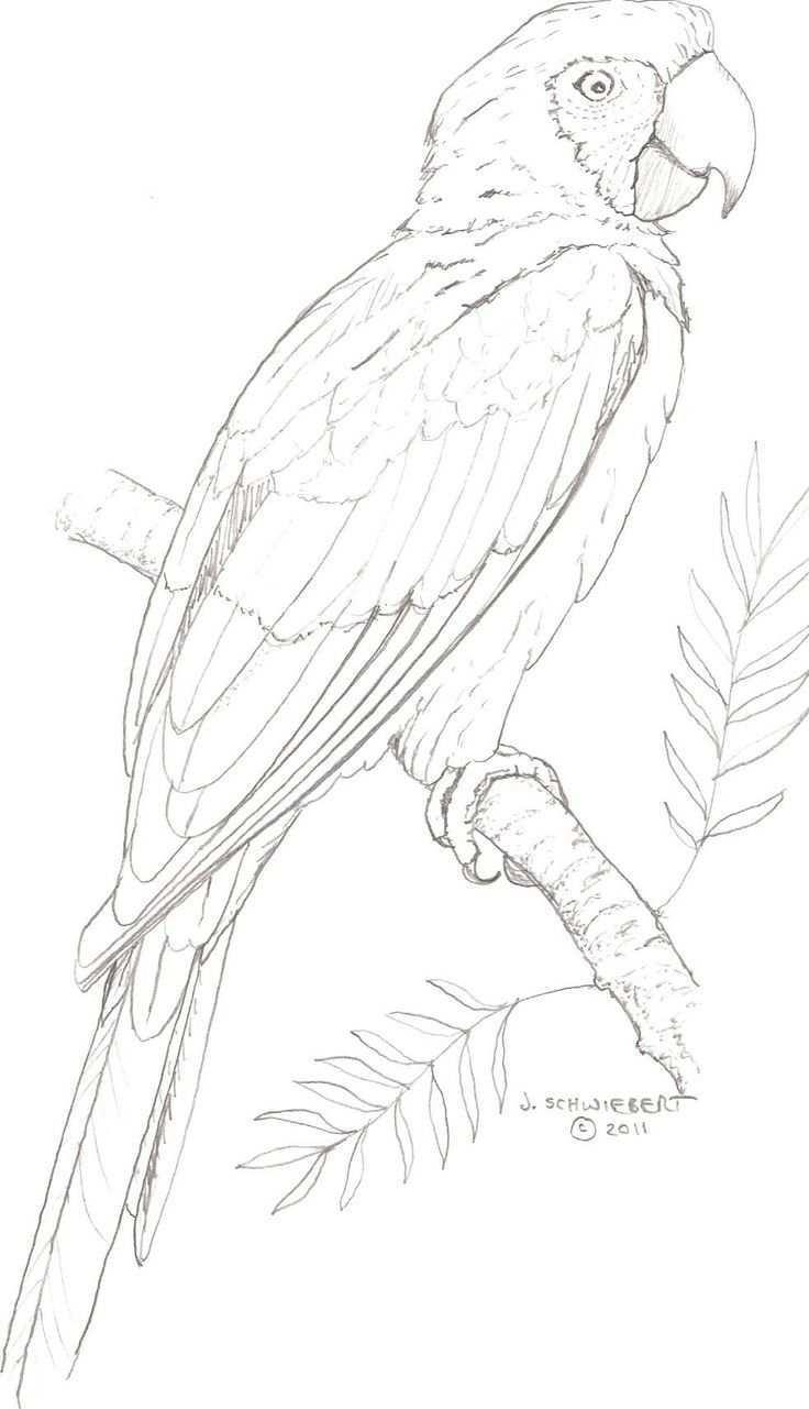 Papegaai Vogels Tekenen Dieren Tekenen Dieren Kleurplaten