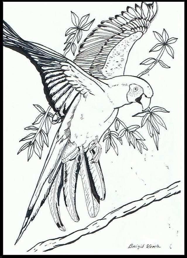 Papegaai Kleurplaten Dieren Kleurplaten Vogels Tekenen