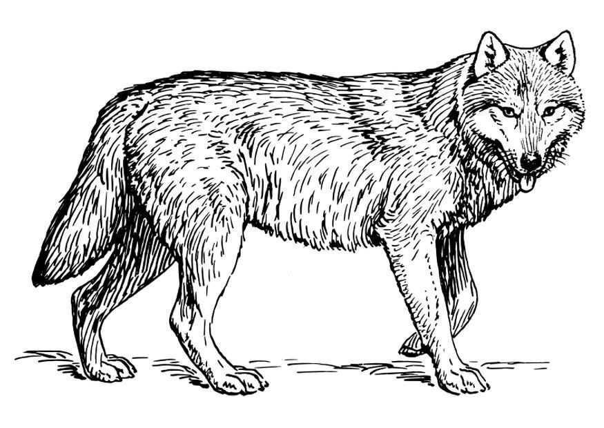 Resultado De Imagen Para Dibujos Dieren Kleurplaten Wolf Schets Kleurplaten